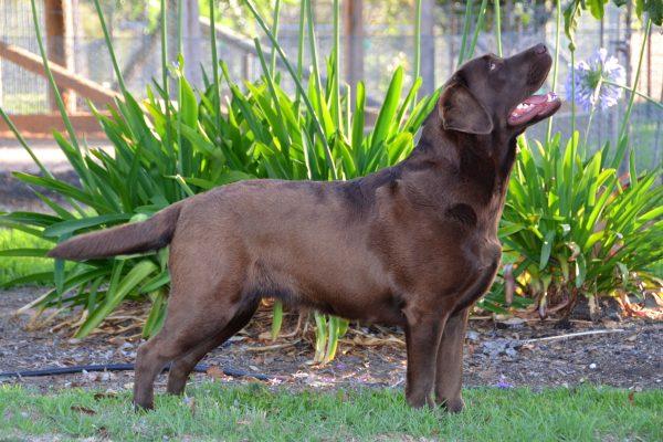 Kodie Bear Labrador 01